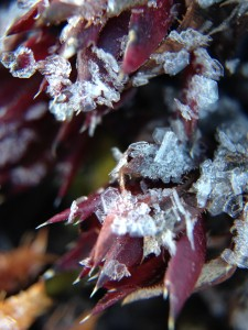 The Macro 3-in-1 allows a quick and sharp photo of frost crystals covering a tiny saxifrage.